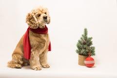 在一条红色围巾的美国美卡犬 免版税库存图片