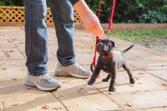 在一条红色皮带的逗人喜爱的斯塔福德郡杂种犬小狗训练 免版税库存图片