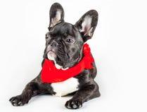 在一条红色围巾的小狗 免版税库存照片