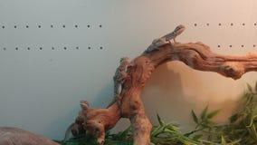 在一条线的蜥蜴在棍子 库存图片