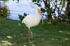 在一条腿的美国白色朱鹭接近的身分 库存照片