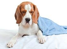 在一条蓝色毯子下的病的狗在白色背景 免版税库存图片