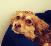 在一条蓝色毯子的狗 图库摄影