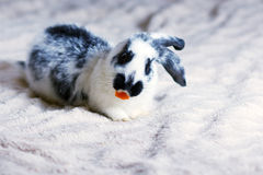 在一条蓬松毯子的兔子 库存图片