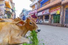 在一条街道的母牛在乔德普尔城,印度 免版税库存图片