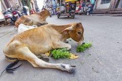 在一条街道的母牛在乔德普尔城,印度 免版税图库摄影