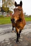 在一条路的一匹美丽的棕色马在乡下 免版税库存图片