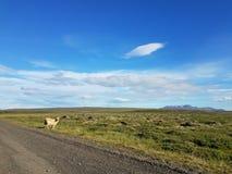 在一条路的绵羊由空的领域 库存照片