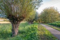 在一条道路旁边的老柳树在荷兰公园 免版税库存照片