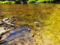 在一条金黄小河的鸭子 免版税库存照片