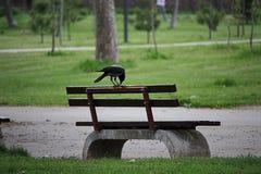 在一条长凳的乌鸦在公园 免版税图库摄影