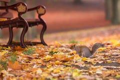 在一条长凳的灰鼠在秋天公园 免版税库存照片