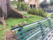 在一条长凳的鬣鳞蜥在Seminario公园, Guayquil厄瓜多尔 免版税图库摄影