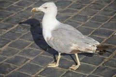 在一条鹅卵石路的海鸥在其中一个罗马正方形中, Ita 免版税库存照片