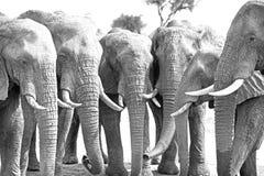 在一条直线的六个大象头与下来树干 免版税图库摄影