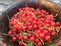 在一杯子harvestet的新鲜的非常红色红醋栗在德国 免版税库存照片