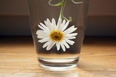 在一杯的一棵白色春黄菊水 免版税图库摄影