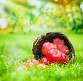 在一柳条basker的新近地被收获的红色苹果 库存照片