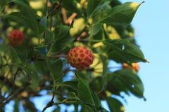 在一株亚洲椋木树Kousa山茱萸的可食用的水果 库存图片