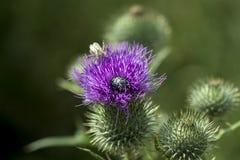 在一株开花的蓟的一只小黑暗的甲虫 库存图片