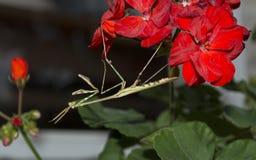 在一株红色大竺葵的Conehead捕食的螳螂 图库摄影