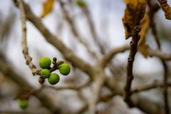 在一根不生叶的枝杈的无花果 免版税库存图片