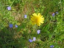 在一根勿忘草中的蒲公英本质上,春天图片 库存照片
