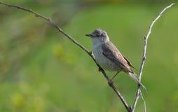 在一根微小的尖刻的枝杈栖息的禁止的鸣鸟 免版税库存照片