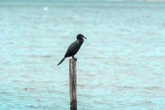 在一根木棍子的单一黑鸟,在康塞桑盐水湖,在弗洛里亚诺波利斯,巴西 免版税库存图片