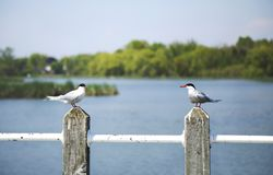 在一根杆的燕鸥鸟在湖 库存照片