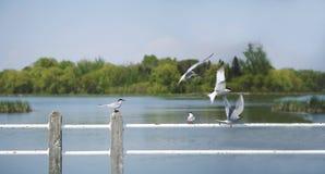 在一根杆的燕鸥鸟在湖 库存图片