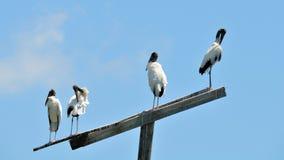 在一根杆顶部的四只木鹳鸟在沼泽地 免版税库存图片