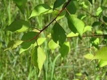 在一根枝杈的绿色叶子在绿色背景 免版税库存图片