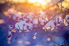 在一根枝杈的莓果在冬天 图库摄影