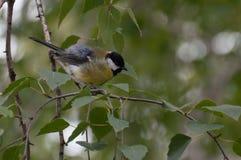 在一根枝杈的蓬松伟大的山雀在公园 图库摄影