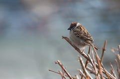在一根枝杈的蓬松麻雀在公园 免版税库存图片