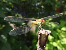 在一根枝杈的蜻蜓在一个晴朗的夏日 库存图片