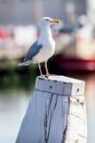 在一根柱子的白色海鸥在有一条小船的港口在背景中 免版税库存照片