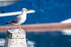 在一根柱子的白色海鸥在有一条小船的港口在背景中 库存图片