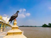 在一根柱子的鸽子在河边 免版税图库摄影