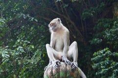 在一根柱子的猴子在黑风洞马来西亚 免版税库存图片