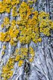 在一根树干的青苔在森林里 免版税库存照片