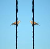 在一根电导线的两只鸟 免版税库存照片