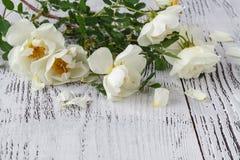 在一根白色鞋带放置的英国玫瑰 库存图片