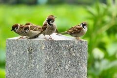 在一根石柱子的麻雀在上野公园,东京,日本 免版税库存照片