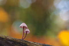在一根老树干的脆弱的psathyrella伞菌 免版税图库摄影