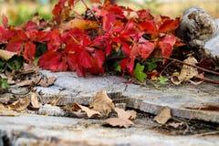 在一根cutted树干的红色叶子 免版税库存图片