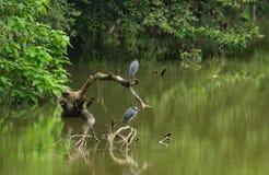 在一棵下落的树栖息的两个伟大蓝色的苍鹭的巢 库存照片