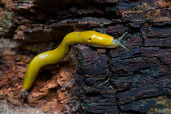 在一棵下落的红木树的香蕉子弹 图库摄影