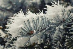 在一棵云杉的树的冰针 免版税图库摄影
